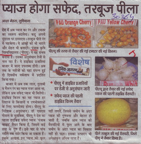 PAU made white onion and yellow watermelon (Punjab Agricultural University PAU)