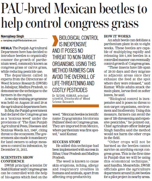 PAU bred Mexican beetles to help control congress grass (Punjab Agricultural University PAU)